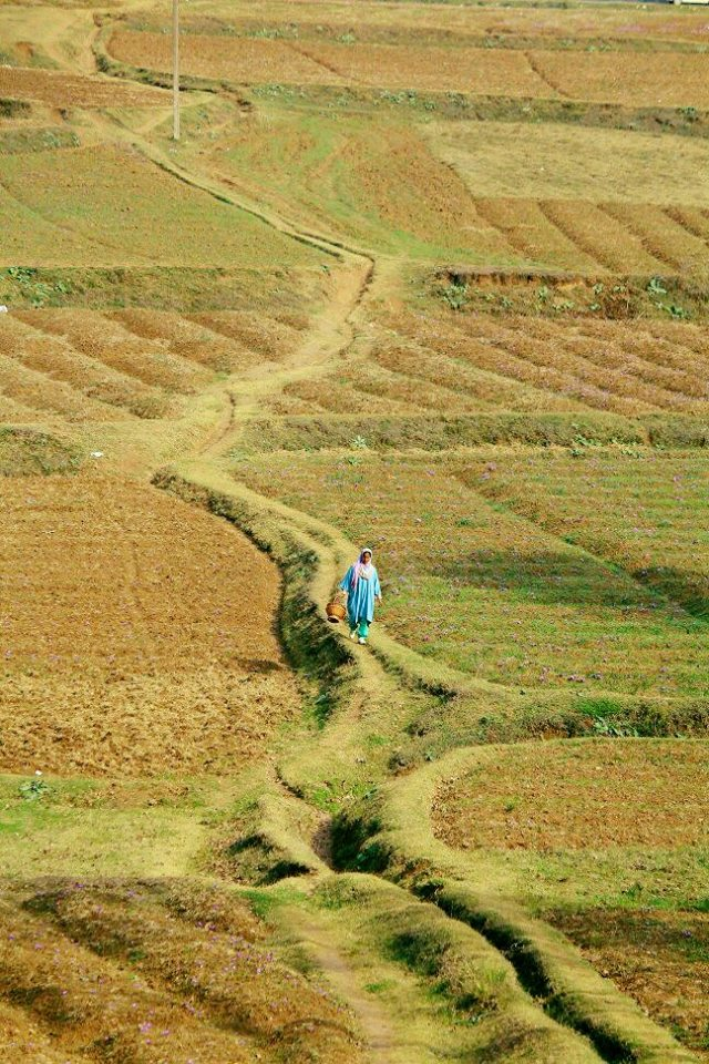 kashmir saffron fields