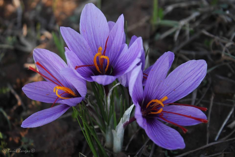 zaffran flowers
