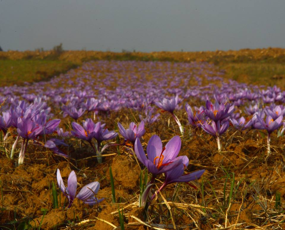 saffron perenial