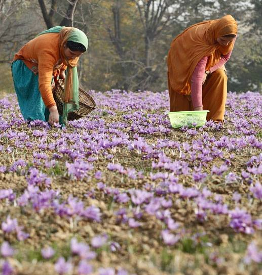 Saffron manual plucking
