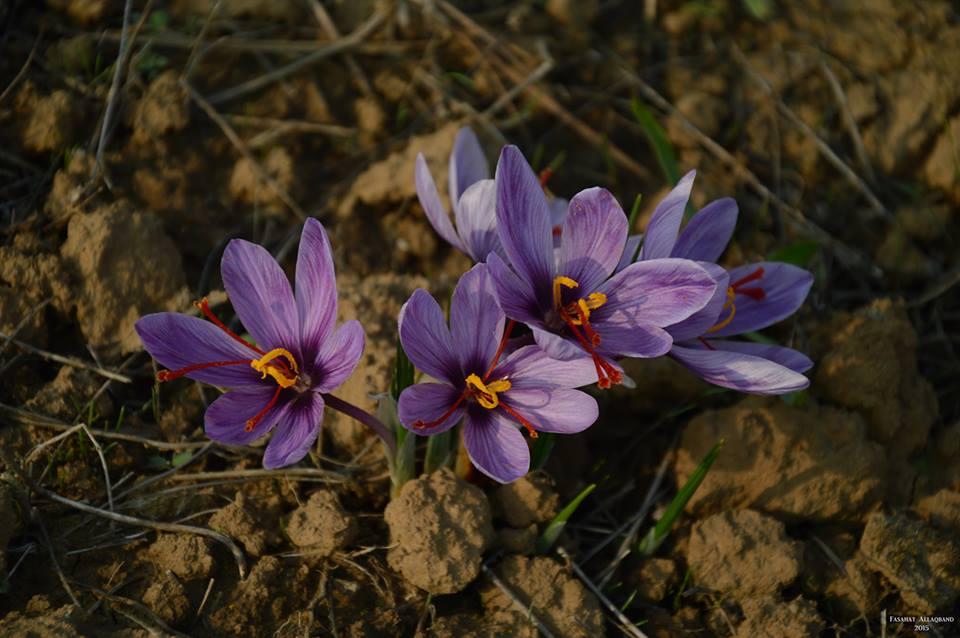 Saffron flowers kashmir