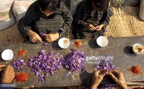 saffron plucking kashmir