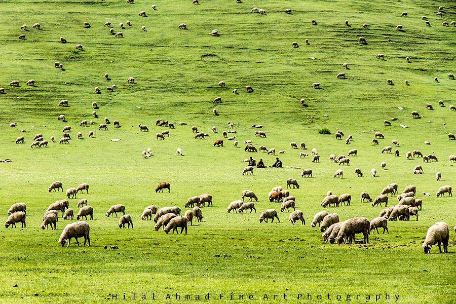 Flocks of sheep grazing on the lush green meadows of Tosa Maidan