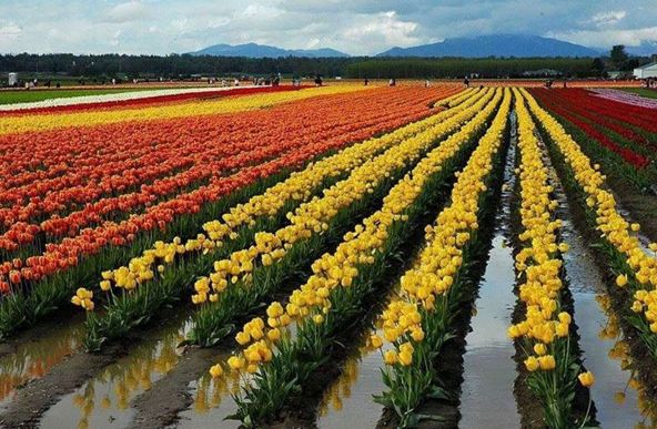 Everything You Need To Know About Tulip Garden In Kashmir ...