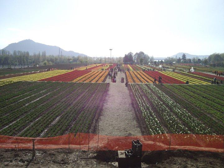 seven terrace tulip garden
