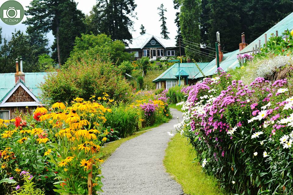 gulmarg meadow flowers